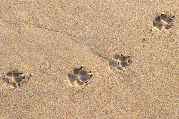 pawprints in sand pallivet
